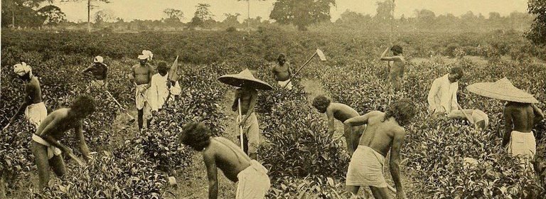 black and white photo of laborers harvesting tea